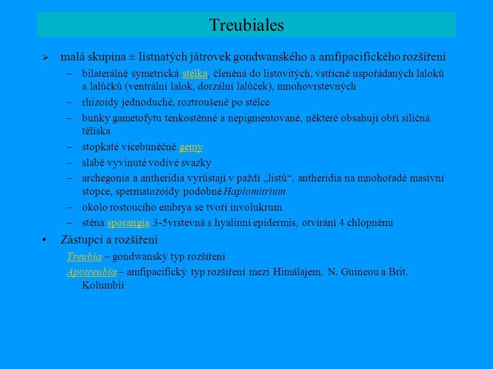 Marchantiopsida: společné znaky; Blasiales  převážně lupenité játrovky s tendencí k tvorbě komplexní lupenité stélky (diferenciace pletiv); apikální buňka s obvykle 2 oddělujícími plochami (někdy 4); 4 primární spermatogenní buňky v antheridiu; 6 řad buněk archeg.