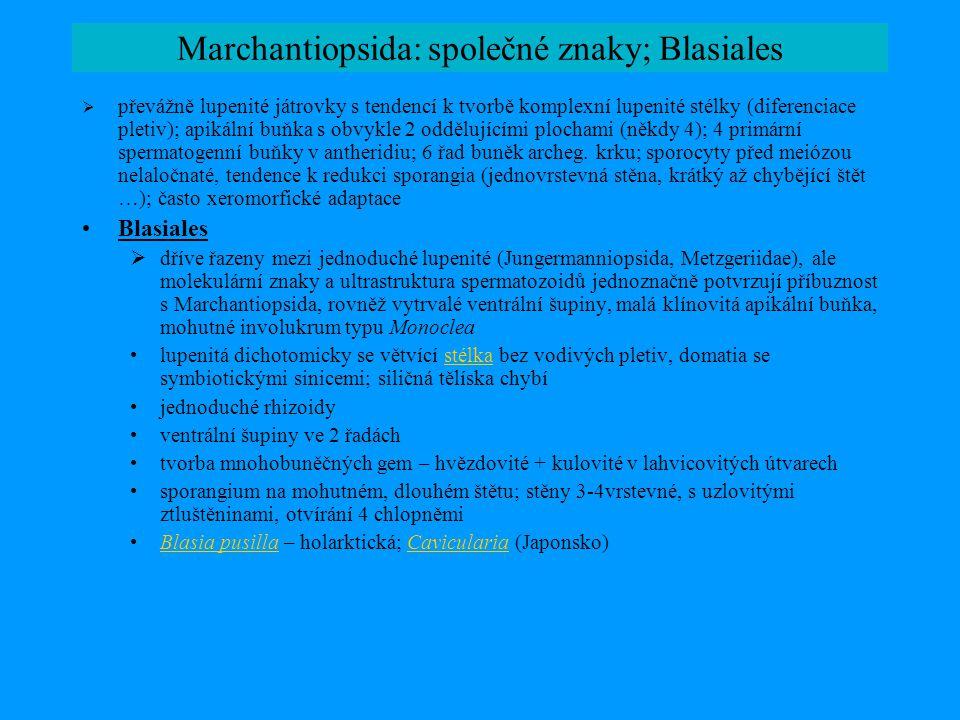 Marchantiopsida: Sphaerocarpales  malá skupina asi 30 druhů, velmi heterogenní ve znacích gametofytu, podobné sporofyty •Charakteristické znaky řádu: –rhizoidy vždy hladké –buňky gametoforu tenkostěnné, pletiva nejsou diferencována –gametangia v mohutných válcovitých až lahvicovitých involukrech –sporofyt ± bez štětu; sporangia s jednovrstevnou stěnou, bez ztluštěnin, nepravidelný rozpad; elatery chybí, přítomny však vyživovací sterilní buňky •Zástupci: NaiaditaNaiadita: fosilní, trias; listnatý gametofor, jednovrstevné eliptické listy spirálně na lodyžce; archegonia laterální na místě listů; tvorba gemiferních větví; sporangium ± typické pro řád RiellaRiella: heterothallické gametofory (♂–♀); vzpřímená osa s jednovrstevným křídlem ve spirále; ventrální šupiny redukované; velká siličná tělíska po 1 v buňce (bez chloroplastů – machantioidní typ siličných buněk); archegonia v involukrech na ose proti křídlu, antheridia v kapsách na hraně křídla.