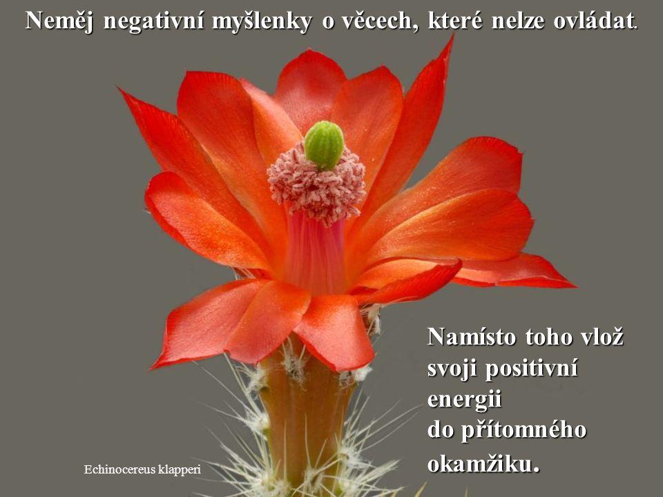 Mammillaria albiflora Neztrácej drahocennou energii na klepy. Neztrácej drahocennou energii na klepy.