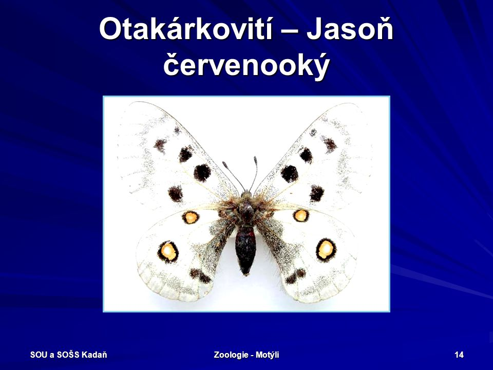 SOU a SOŠS Kadaň Zoologie - Motýli 13 Denní motýli Otakárkovití Vykrajovaná zadní křídla. Housenky žijí na mrkvovitých rostlinách. Tykadla na koncích