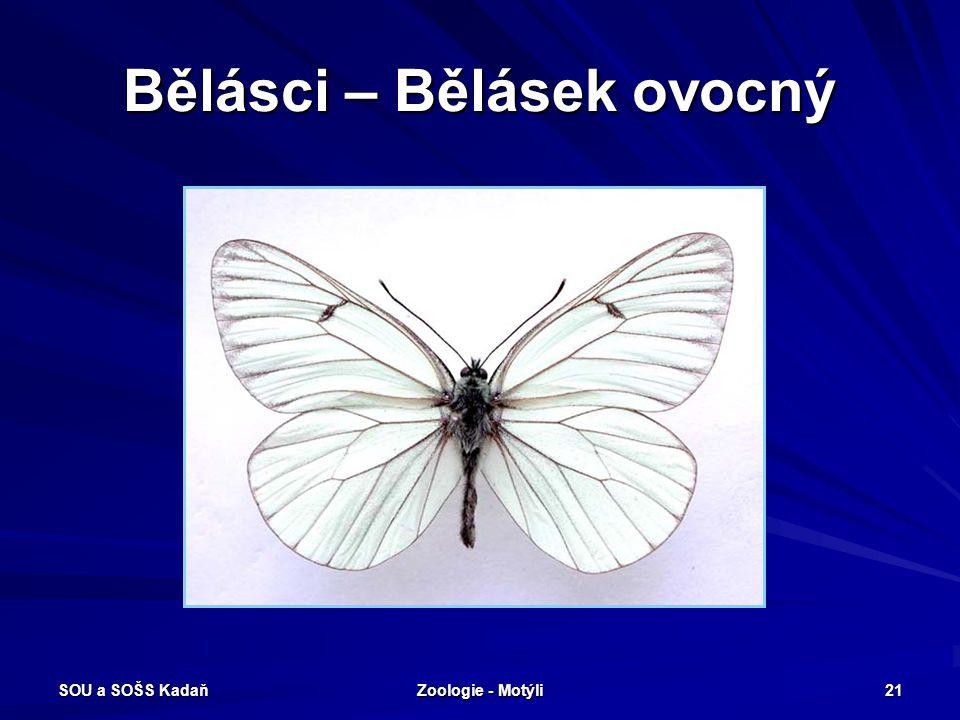 SOU a SOŠS Kadaň Zoologie - Motýli 20 Bělásci Denní motýli střední velikosti, obvykle bílí nebo žlutí s černým okrajem křídel. Zadní křídla nikdy nema