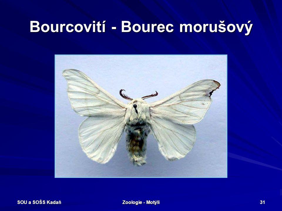 SOU a SOŠS Kadaň Zoologie - Motýli 30 Bourcovití – Bourec morušový Bourec morušový - housenka zelenošedá, líná, před kuklením vytváří zámotek, kokon s