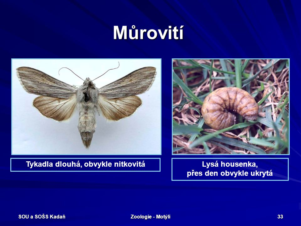 SOU a SOŠS Kadaň Zoologie - Motýli 32 Bourcovití - Martináč hrušnový Martináčovití – velcí robustní motýli, třásnitá tykadla. Dává hedvábné vlákno. Ná