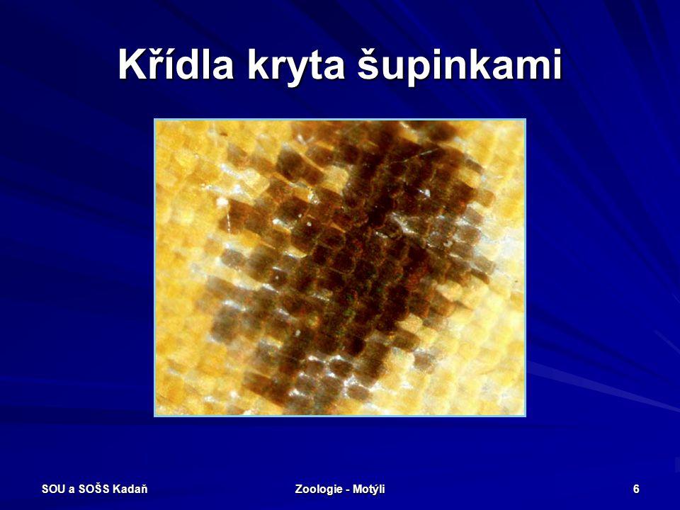 SOU a SOŠS Kadaň Zoologie - Motýli 36 Bekyňovití Škůdce - žír na jehličnanech, kalamitní škůdce, přemnožuje se především v porostech 10-15 let starých.