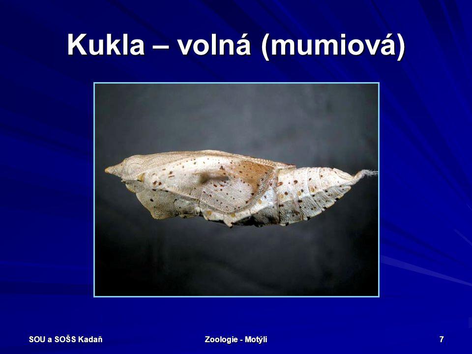 SOU a SOŠS Kadaň Zoologie - Motýli 27 Noční motýli Robustní motýli - obvykle přední křídla úzká, zadní křídla menší, rozšířená.