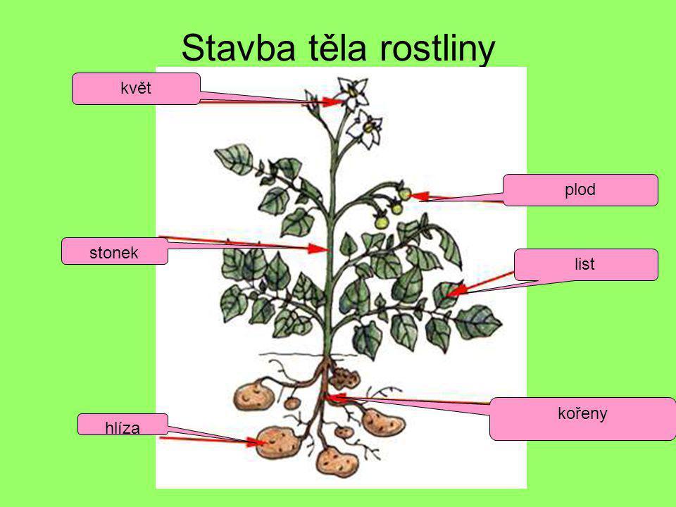 Stavba těla rostliny kořeny list plod květ stonek hlíza