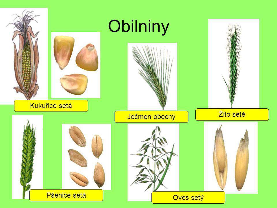 Obilniny Kukuřice setá Pšenice setá Oves setý Ječmen obecný Žito seté