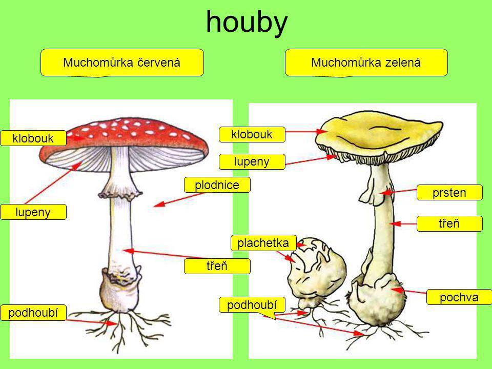 houby podhoubí plodnice třeň klobouk lupeny podhoubí plachetka pochva třeň prsten lupeny klobouk Muchomůrka zelenáMuchomůrka červená