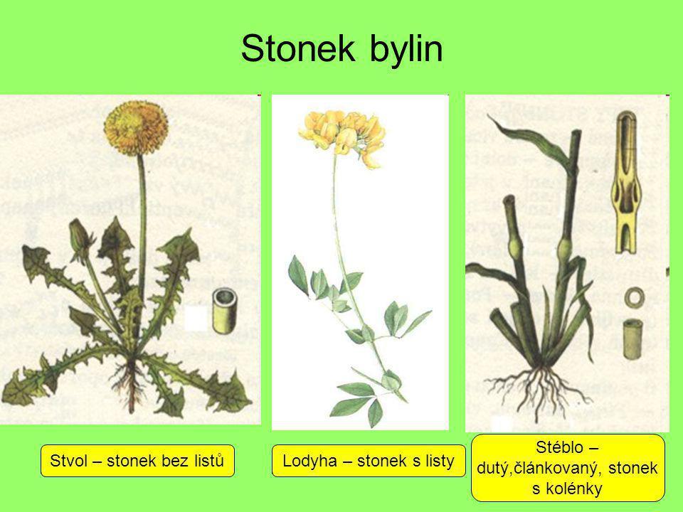 Stonek bylin Stvol – stonek bez listůLodyha – stonek s listy Stéblo – dutý,článkovaný, stonek s kolénky