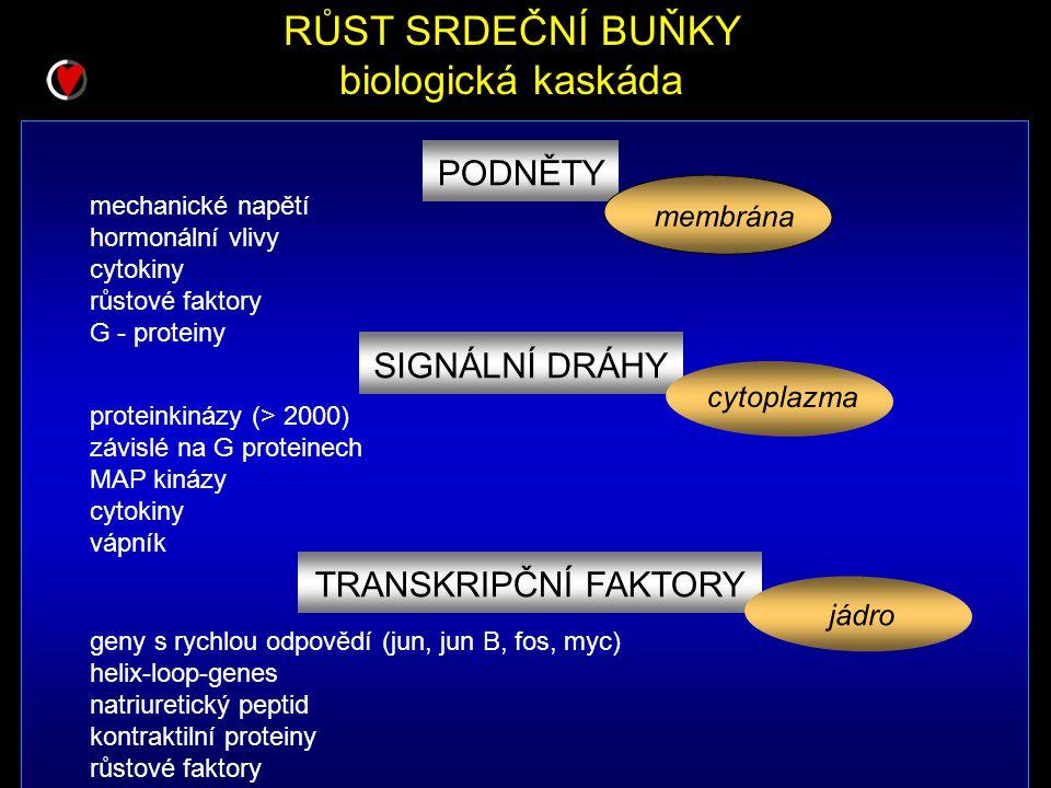 RŮST SRDEČNÍ BUŇKY biologická kaskáda mechanické napětí hormonální vlivy cytokiny růstové faktory G - proteiny proteinkinázy (> 2000) závislé na G proteinech MAP kinázy cytokiny vápník PODNĚTY membrána SIGNÁLNÍ DRÁHY TRANSKRIPČNÍ FAKTORY cytoplazma geny s rychlou odpovědí (jun, jun B, fos, myc) helix-loop-genes natriuretický peptid kontraktilní proteiny růstové faktory jádro