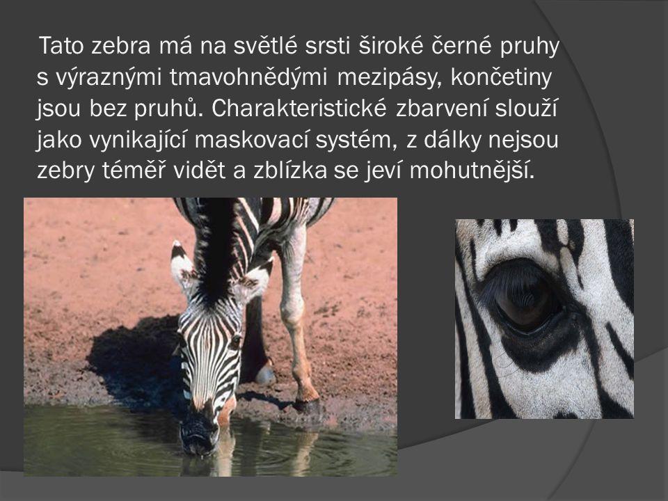 Tato zebra má na světlé srsti široké černé pruhy s výraznými tmavohnědými mezipásy, končetiny jsou bez pruhů.