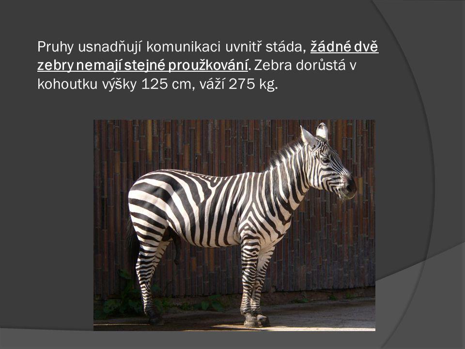 Pruhy usnadňují komunikaci uvnitř stáda, žádné dvě zebry nemají stejné proužkování.