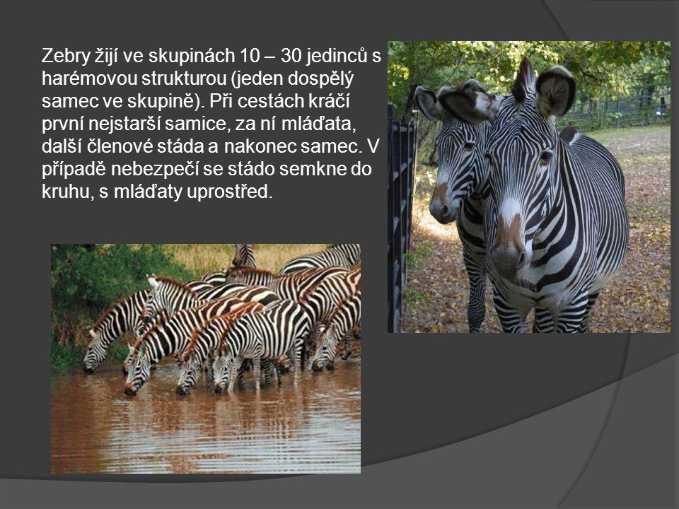 Zebra Chapmanova (poddruh zebry stepní) obývá rozsáhlé savany a stepi jihovýchodní Afriky (Zimbabwe, Botswana a Mozambik).