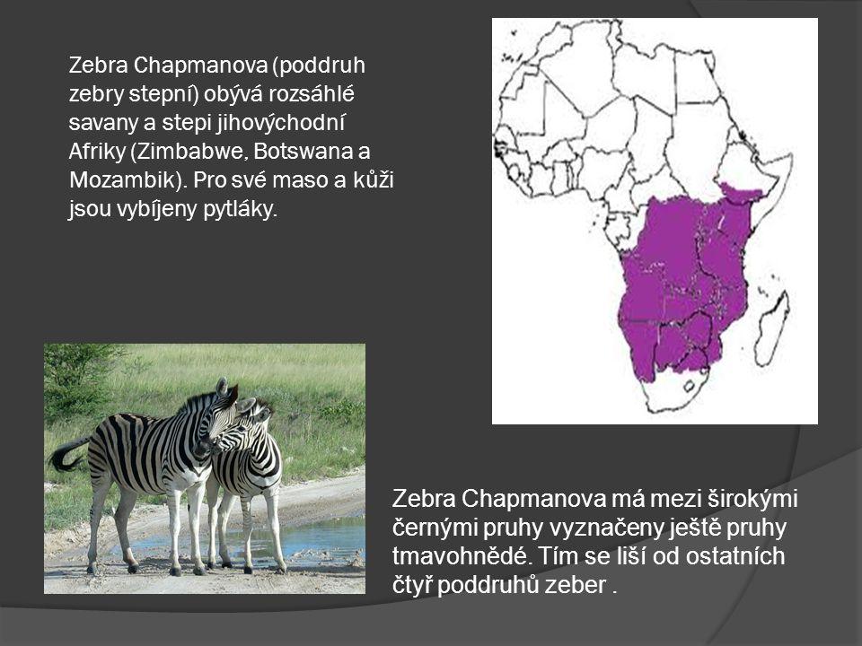 Podobnost zebry s koněm vyvolává automaticky otázku, lze-li na ní jezdit.