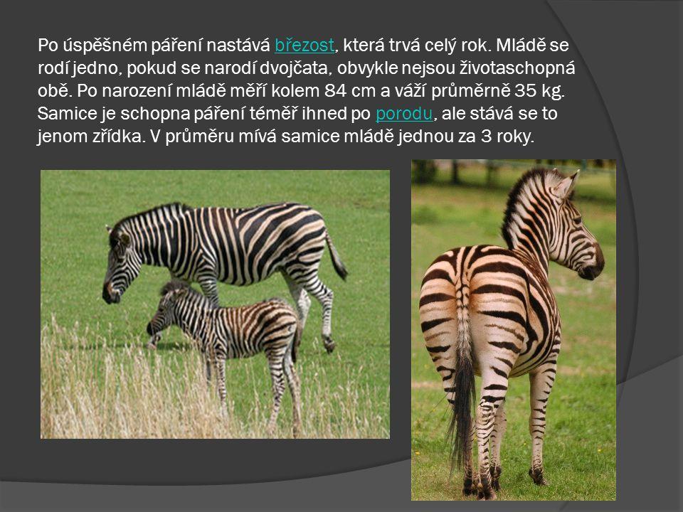 Stavbou těla se zebry podobají primitivním druhům koní.