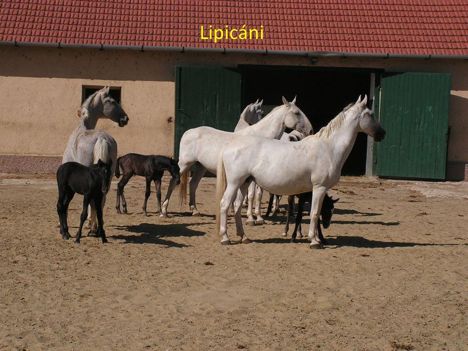 Lipicáni