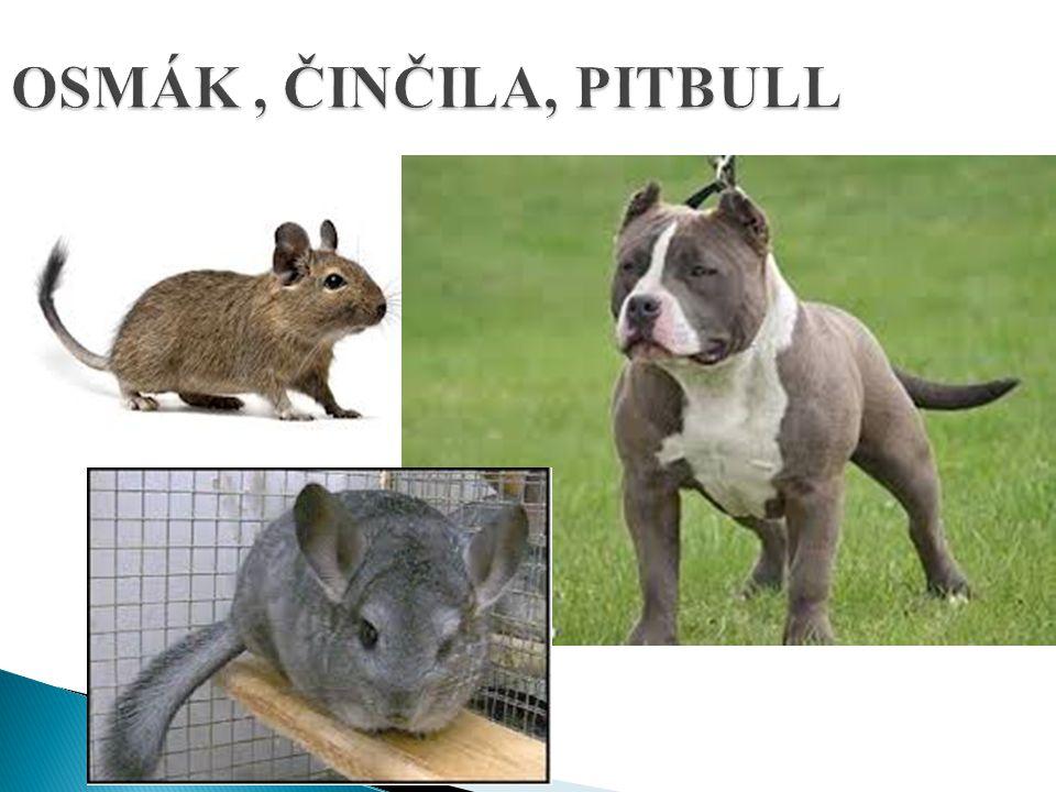 OSMÁK, ČINČILA, PITBULL