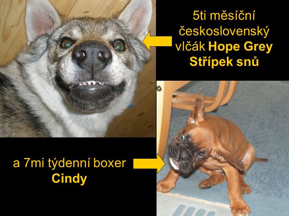 a 7mi týdenní boxer Cindy 5ti měsíční československý vlčák Hope Grey Střípek snů