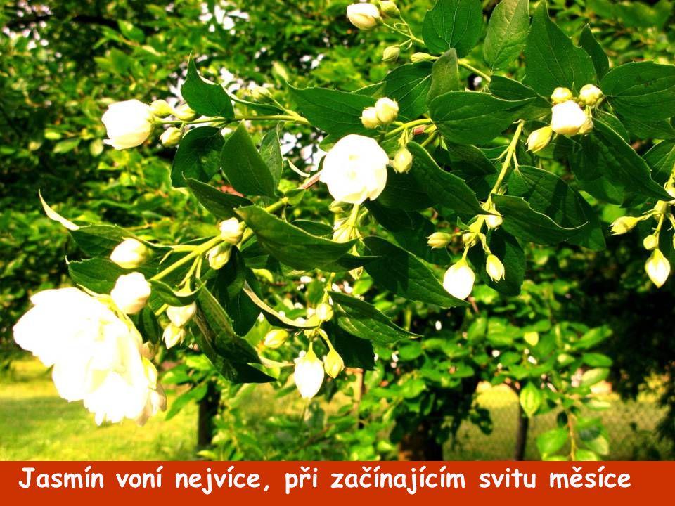 Každé ráno slunce květy povystrčí, pak jeden s druhým zápolí, který ze všech nejvíce jarní vzduch nám provoní