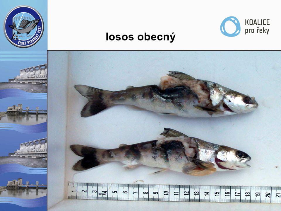 losos obecný  poproudová migrace  likvidace  růst v moři  protiproudová migrace  snížení reprodukčního úspěchu