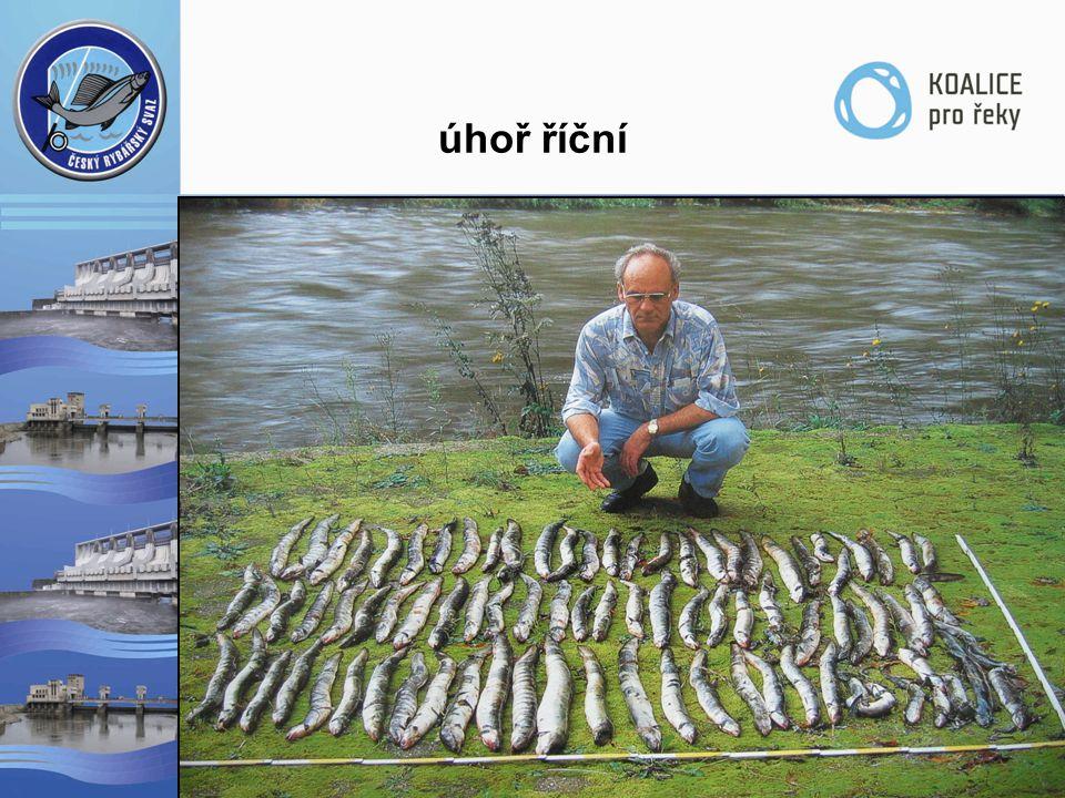 úhoř říční  protiproudová migrace  dovoz mladých úhořů (tzv. monté)  růst na našem území 8-12 let  poproudová migrace  likvidace  CITES, 1100/20