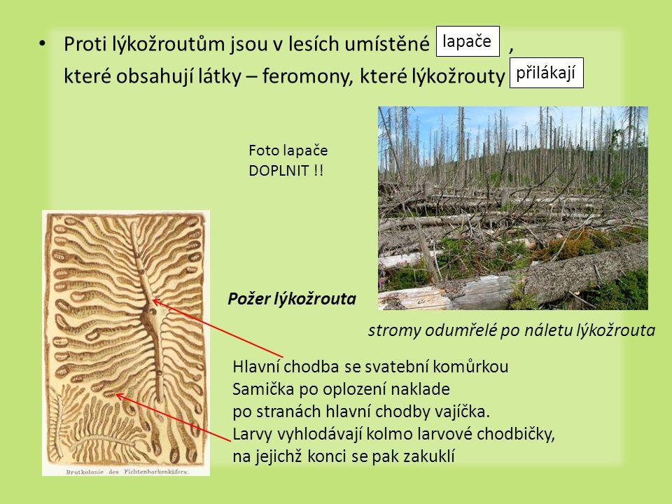 • Proti lýkožroutům jsou v lesích umístěné, které obsahují látky – feromony, které lýkožrouty lapače přilákají Hlavní chodba se svatební komůrkou Sami