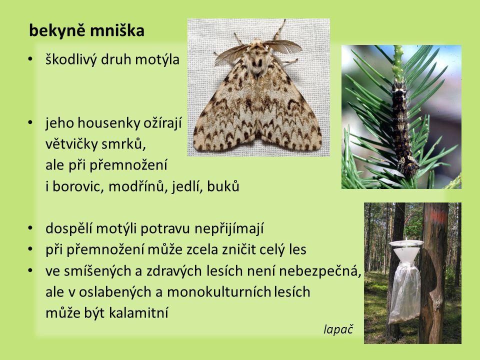 bekyně mniška • škodlivý druh motýla • jeho housenky ožírají větvičky smrků, ale při přemnožení i borovic, modřínů, jedlí, buků • dospělí motýli potra