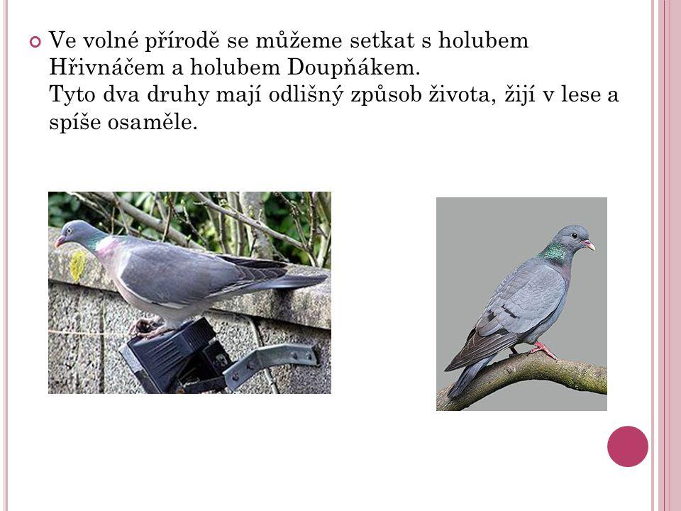 Ve volné přírodě se můžeme setkat s holubem Hřivnáčem a holubem Doupňákem.