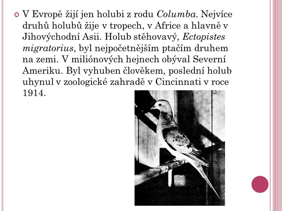V Evropě žijí jen holubi z rodu Columba.