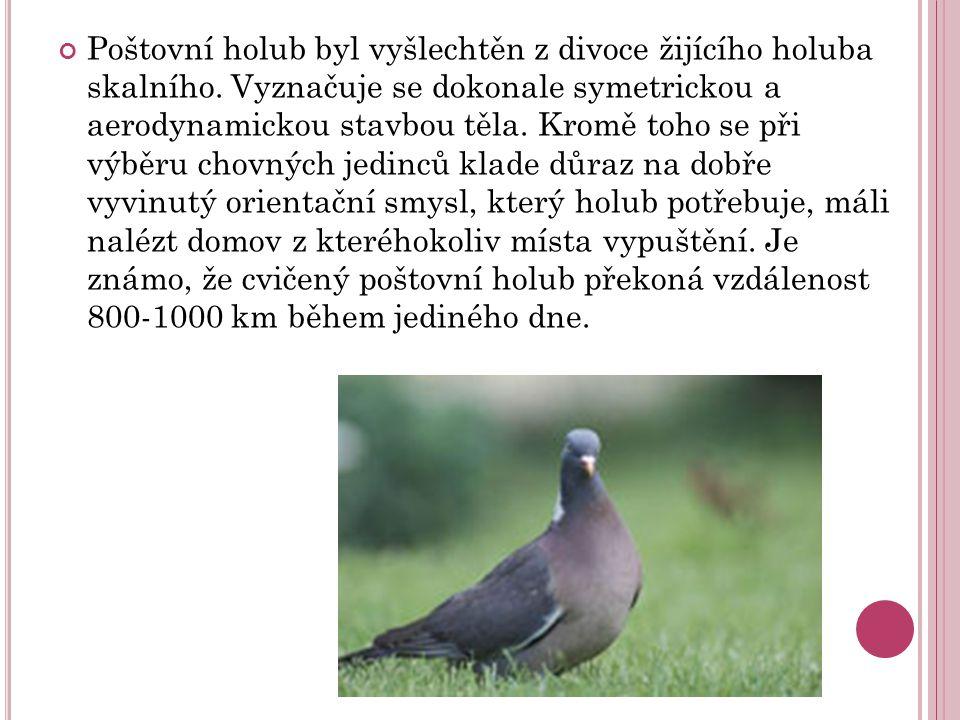Poštovní holub byl vyšlechtěn z divoce žijícího holuba skalního.