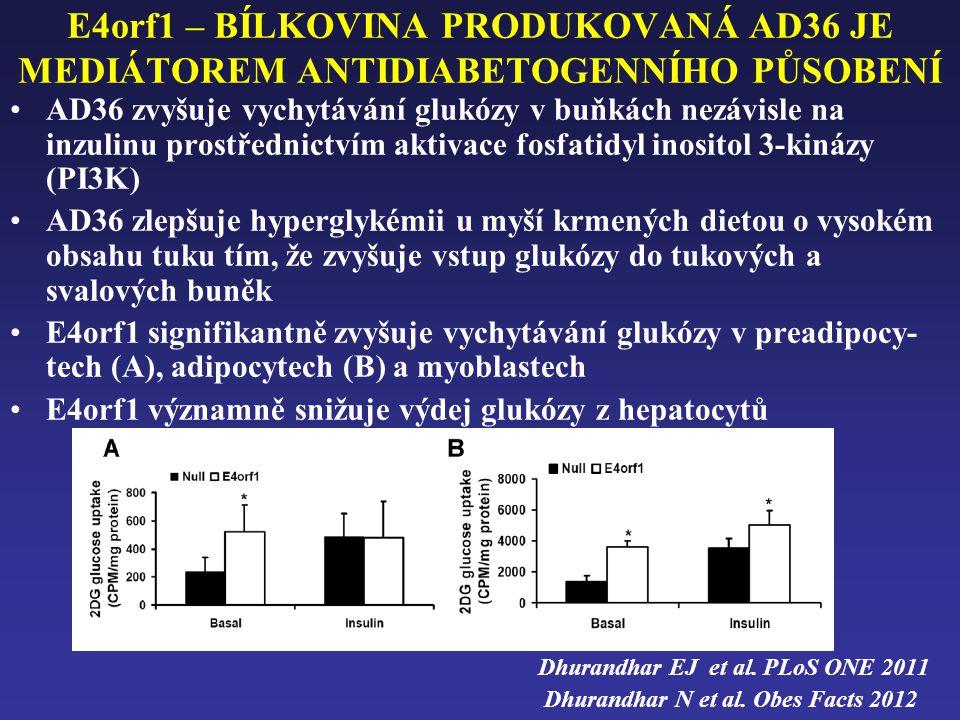 E4orf1 – BÍLKOVINA PRODUKOVANÁ AD36 JE MEDIÁTOREM ANTIDIABETOGENNÍHO PŮSOBENÍ •AD36 zvyšuje vychytávání glukózy v buňkách nezávisle na inzulinu prostřednictvím aktivace fosfatidyl inositol 3-kinázy (PI3K) •AD36 zlepšuje hyperglykémii u myší krmených dietou o vysokém obsahu tuku tím, že zvyšuje vstup glukózy do tukových a svalových buněk •E4orf1 signifikantně zvyšuje vychytávání glukózy v preadipocy- tech (A), adipocytech (B) a myoblastech •E4orf1 významně snižuje výdej glukózy z hepatocytů Dhurandhar EJ et al.