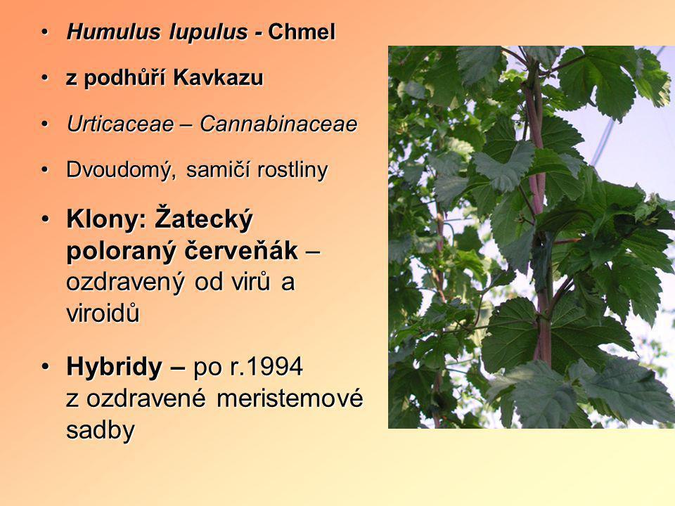 •Humulus lupulus - Chmel •z podhůří Kavkazu •Urticaceae – Cannabinaceae •Dvoudomý, samičí rostliny •Klony: Žatecký poloraný červeňák – ozdravený od vi