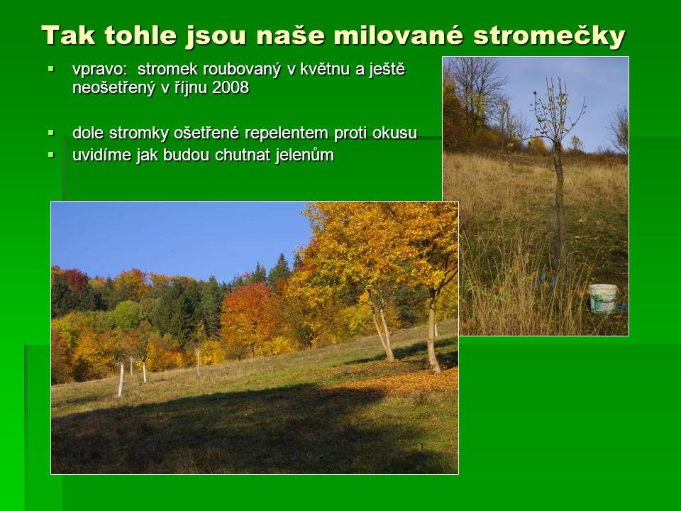 Tak tohle jsou naše milované stromečky  vpravo: stromek roubovaný v květnu a ještě neošetřený v říjnu 2008  dole stromky ošetřené repelentem proti okusu  uvidíme jak budou chutnat jelenům