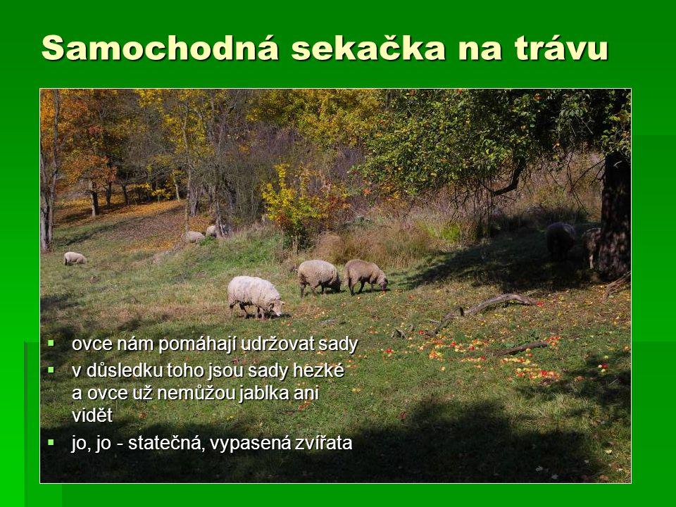 Samochodná sekačka na trávu  ovce nám pomáhají udržovat sady  v důsledku toho jsou sady hezké a ovce už nemůžou jablka ani vidět  jo, jo - statečná, vypasená zvířata