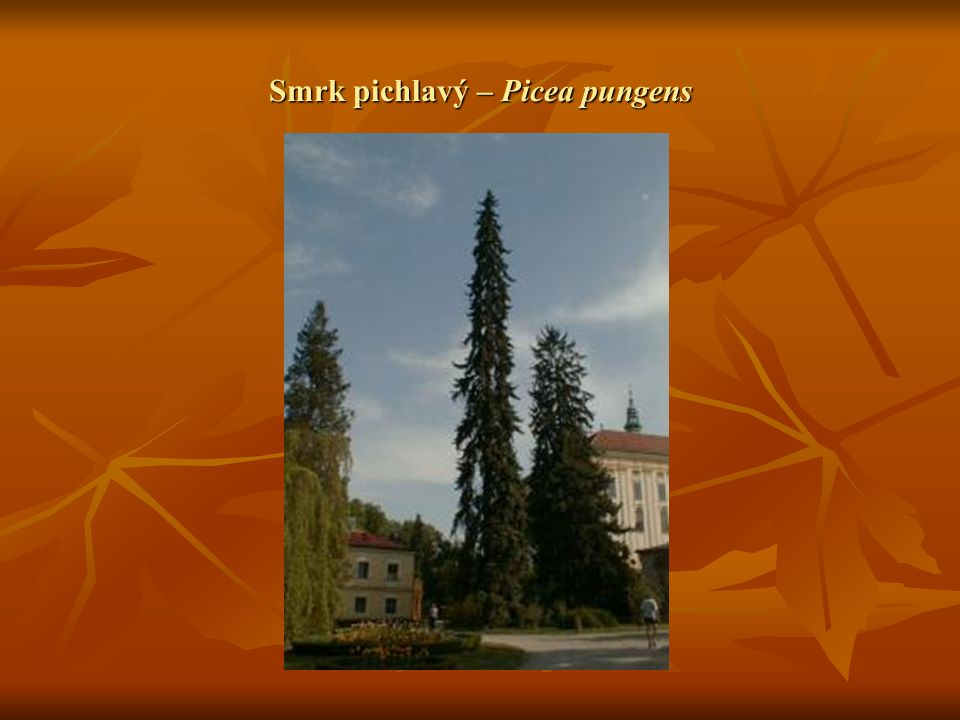 Smrk pichlavý – Picea pungens