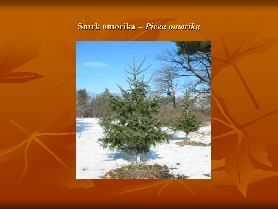 Smrk omorika – Picea omorika