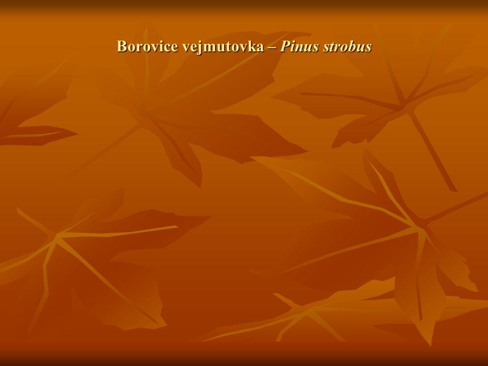 Borovice vejmutovka – Pinus strobus