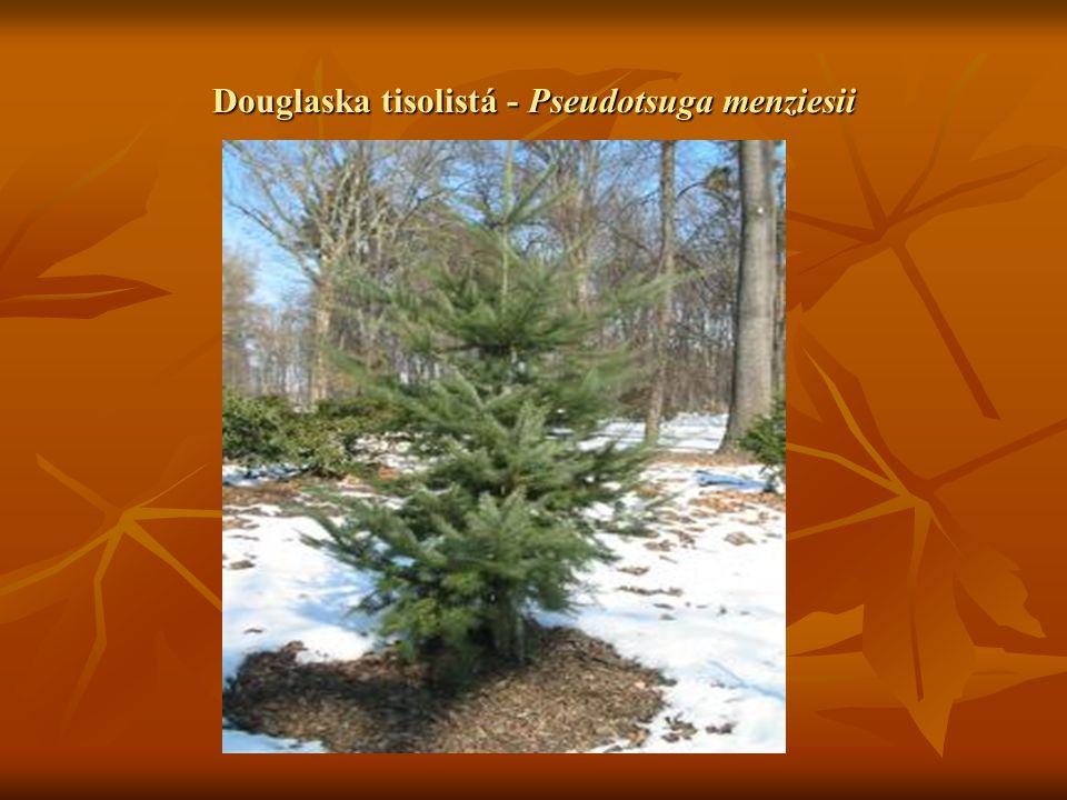  Trnovník akát – Robinia pseudoacacia Druh ze Severní Ameriky.