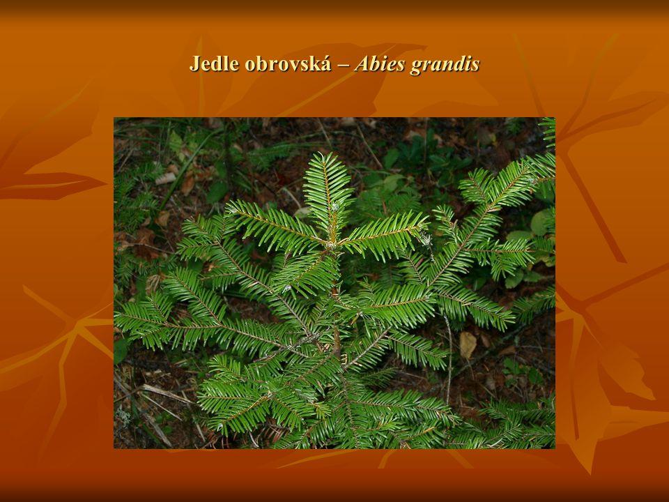  Smrk pichlavý – Picea Pungens Pochází z vnitrozemské oblasti USA, ze Skalistých hor.