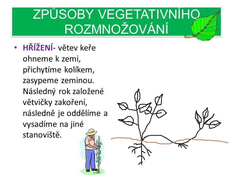 ZPŮSOBY VEGETATIVNÍHO ROZMNOŽOVÁNÍ • ŘÍZKY Z LISTŮ- zakořeňuje uříznutý list, který ponoříme do vody, stimulátor růstu můžeme také po u žít. begonie