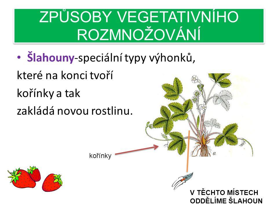 ZPŮSOBY VEGETATIVNÍHO ROZMNOŽOVÁNÍ-ZÁPIS • ŠLAHOUNY- dlouhé výrůstky, jahodník, zelenec • CIBULEMI- česnek, tulipán, narcis • ODDENKY-konvalinka, sasa