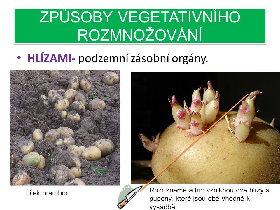 ZPŮSOBY VEGETATIVNÍHO ROZMNOŽOVÁNÍ • ODDENKY- podzemní stonky, často také výběžky kořenů vytrvalých rostlin. Příklad zázvor pravý, kapradiny.