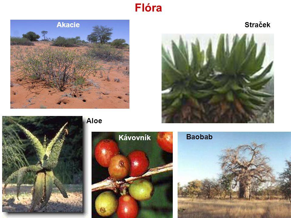 Flóra Baobab Kávovník Akacie Aloe Straček