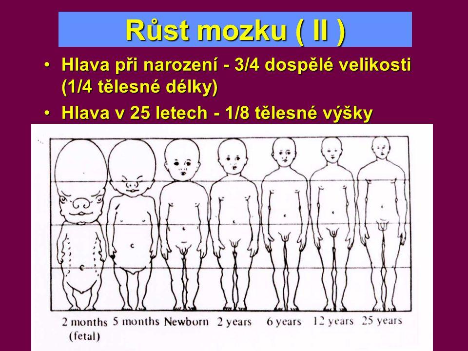 Růst mozku ( II ) •Hlava při narození - 3/4 dospělé velikosti (1/4 tělesné délky) •Hlava v 25 letech - 1/8 tělesné výšky