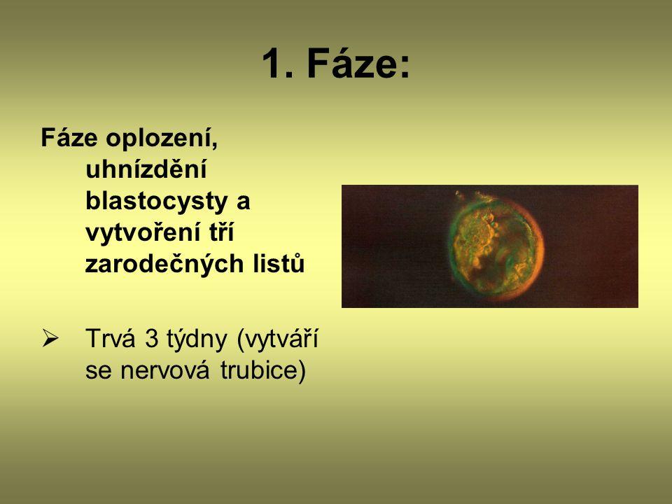 1. Fáze: Fáze oplození, uhnízdění blastocysty a vytvoření tří zarodečných listů  Trvá 3 týdny (vytváří se nervová trubice)