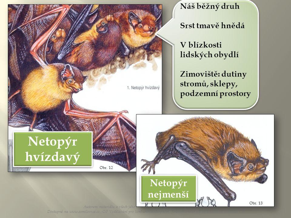 Obr. 12 Netopýr hvízdavý Náš běžný druh Srst tmavě hnědá V blízkosti lidských obydlí Zimoviště: dutiny stromů, sklepy, podzemní prostory Náš běžný dru