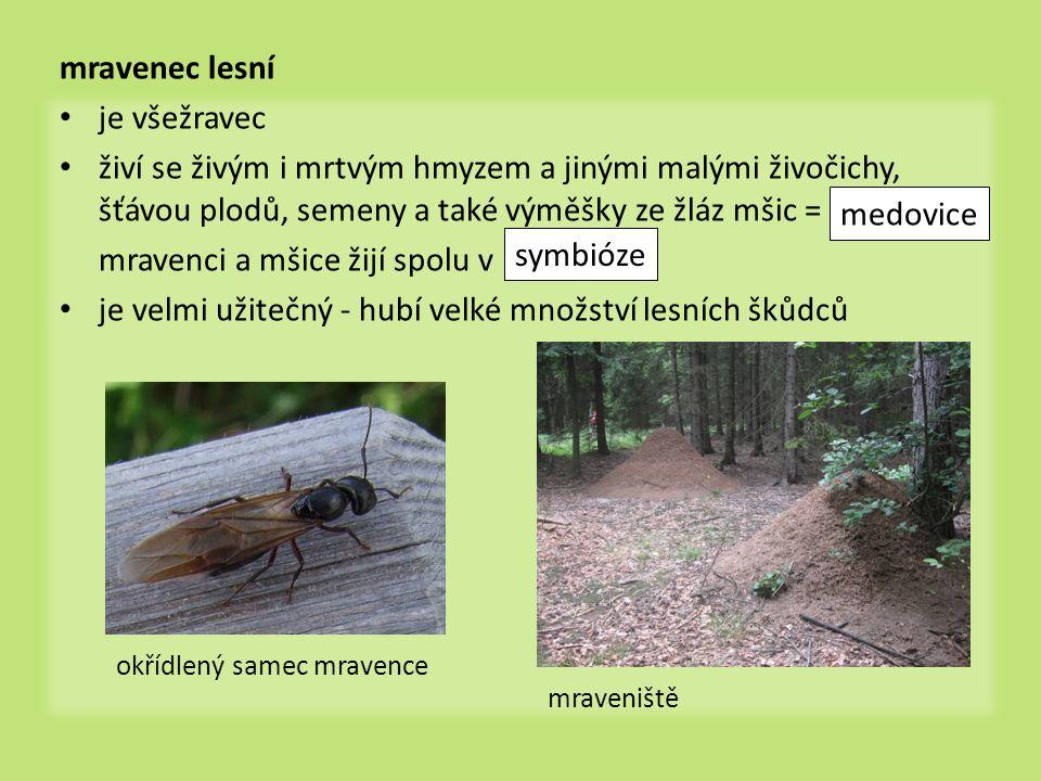 mravenec lesní • je všežravec • živí se živým i mrtvým hmyzem a jinými malými živočichy, šťávou plodů, semeny a také výměšky ze žláz mšic = mravenci a