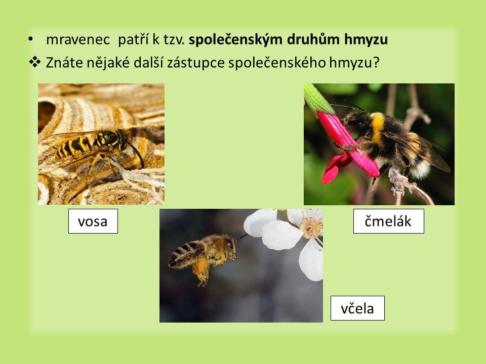 • mravenec patří k tzv. společenským druhům hmyzu  Znáte nějaké další zástupce společenského hmyzu? vosačmelák včela