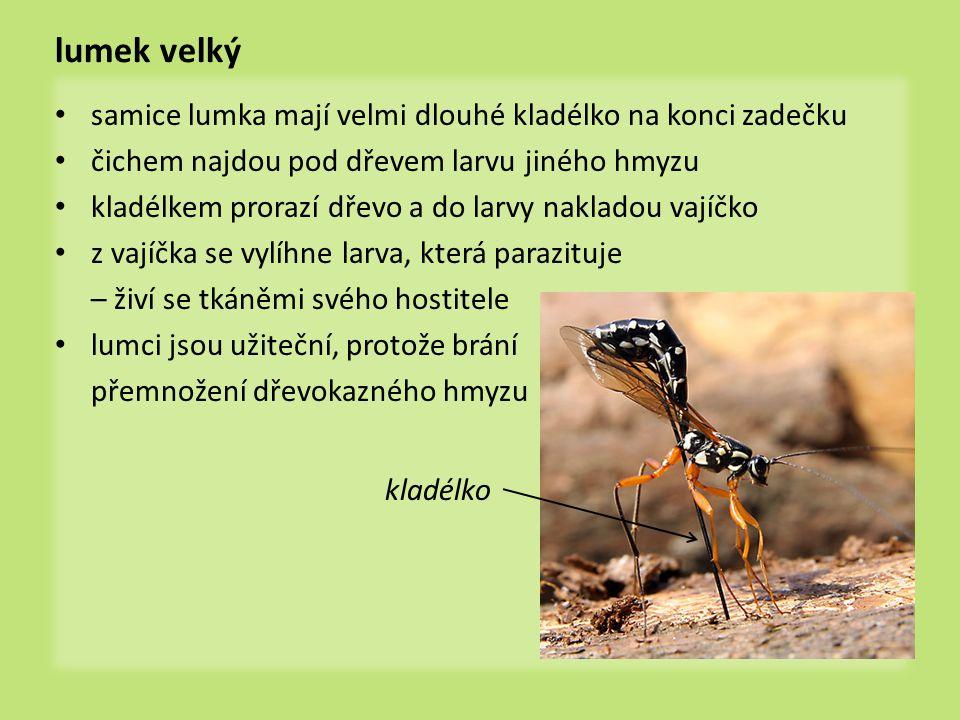 lumek velký • samice lumka mají velmi dlouhé kladélko na konci zadečku • čichem najdou pod dřevem larvu jiného hmyzu • kladélkem prorazí dřevo a do la