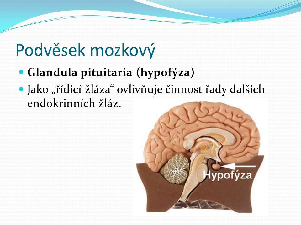"""Podvěsek mozkový  Glandula pituitaria (hypofýza)  Jako """"řídící žláza"""" ovlivňuje činnost řady dalších endokrinních žláz."""
